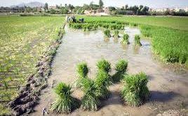 توزیع بهترین برنج لنجان