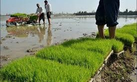 شرکت برنج ارگانیک لنجان